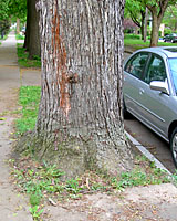Spaces between the curb and sidewalk are way too small for American elms.