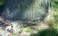 Over time, a girdling root can literally strangle a mature tree to death!
