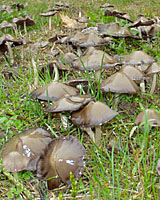 Clool, damp autumn weather triggers the formation of mushrooms in lawns and landscape beds.