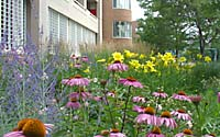 Masses of purple coneflower, daylilies, Russian sage, ornamental grasses and other summer-blooming perennials provide months of color adjacent to the OnCenter in downtown Syracuse, New York.