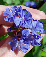 Few flowers offer the electric indigo hue of leadwort.