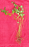 Leadwort has a very sparse root system and roughly two foot long stems that lay flat on the ground.