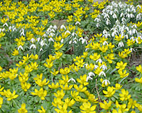 The buttercup yellow blooms of winter aconite and nodding white flowers of snowdrops are the earliest of all spring-flowering bulbs.