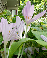 Autumn crocus are always a surprise when they come into bloom in late September!