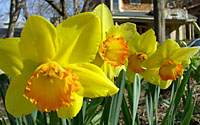 Daffodils are practically fool-proof in Central New York gardens!
