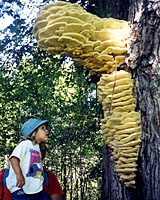 Cream-colored conks are evidence of serious rot diseases in the trunks of trees.