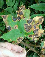 For as bad as it looks, tar spot on Norway maples leaves doesn't hurt affected trees at all.
