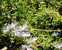 The foliage and flowers of rosemary are very fragrant and ornamental.