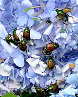 Swarms of Japanese beetle adults on plants in a landscape is not necessarily a good indicator that large numbers of grubs will also be present in nearby lawns.