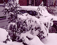 One reason that's often not a good idea to use evergreens in foundation plantings is that they're easily damaged by snow and ice sliding off of roofs.