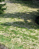 Snow mold is often widespread in many lawns after prolonged snow cover in February and March.