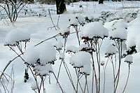 Snow sitting on top of the spent flowerheads of `Autumn Joy' sedum creates a mushroom-like sculpture in the garden.