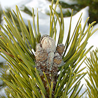 If you prune pine trees and shrubs between late July and mid-May, you'll remove their dormant buds.