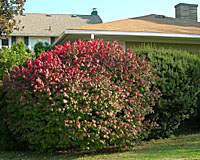 How to prune overgrown burning bush is one of the top inquries to this website.