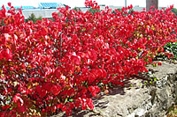 There are few shrubs that add as much fall color to the landscape as burning bush!