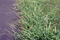Crabgrass thrives where soils are hot and dry, like along the edge of this driveway.