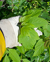 Wiping a herbicide-saturated cotton glove over the leaves of weeds can be an effective way to control invasive weeds.