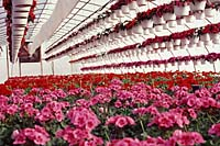 Geraniums are one of the most popular of all annual flowers and are grown by almost every greenhouse in Central New York.