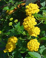Lantana is widely grown in the south but rarely found in Central New York landscapes and gardens. It thrives in the heat and drought of mid-summer with little or no additional water!