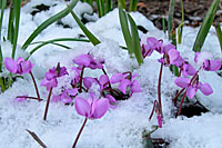 On April 10th of 2007, the coum cyclamen along our driveway were blooming through a light dusting of snow.