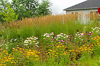 Feather reed grass is effective as a backdrop for summer-flowering perennials such as blackeye Susan and purple coneflower.