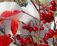 The brilliant red fall foliage and fruit of chokeberry is ablaze against a backdrop of early season snow!