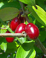 It's too bad the bright red, olive-sized fruit of corneliancherry are hidden by leaves, otherwise, there's no doubt this plant would much more common in landscape settings.