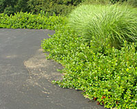 The bright green foliage of Gro-low sumac is not affected by the heat reflected off this tarvia driveway.