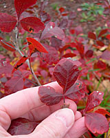 The fall foliage of Gro-low sumac ranges from reddish-orange to scarlet.