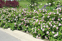 Rugosa roses are a great choice along street edges where road salt and snowplow damage is likely.