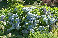Bigleaf hydrangeas bloom this well in Central New York gardens only after very mild winters.