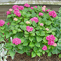 Bigleaf hydrangeas generally bloom only sporadically in many Central New York gardens because their flower buds are killed when temperatures drop to near zero.