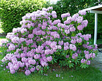 I'll bet you'd love to have a rhododendron like this one in your backyard! However, it only blooms for a week and has nothing else to offer the other fifty one weeks of the year!