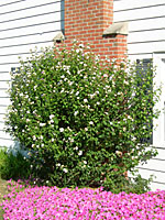 Rose of sharon can grow eight to twelve feet tall and wide over ten years.