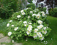 Tree peonies produce beautiful flowers for about a month, then contribute interesting foliage texture rest of the growing season.