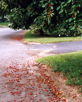 Many crabapples dropped their fruit as soon as they are ripe, creating a sticky mess.