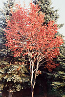 The fall foliage color of serviceberry ranges from yellow, through orange to scarlet.