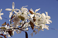 The pure white, five-petaled flowers of serviceberry are effective for about a week in late April through early May.