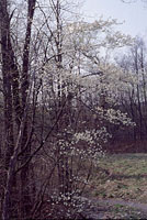 This serviceberry is in full bloom along a stream just outside of Marcellus, New York.