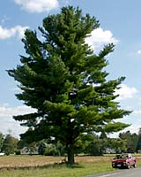 Often planted no more than ten feet apart in Central New York landscapes white pine trees can easily grow to heights of 100 feet a spreads of greater than 40 feet in only fifty years!