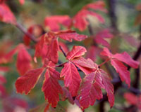 The leaves of paperbark maple turn a rich red each October.