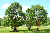 This cluster of three paperbark maple trees at Cornell Plantations is stunning year-round!