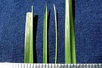 From left to right are leaf blades of turf-type tall fescue, Kentucky bluegrass, fine leaf fescue and perennial ryegrass.