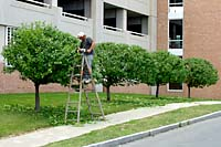If you have to leave the ground to prune any plant in your landscape, I recommend calling in the services of a trained - and insured - professional. And, by all means, do not operate gas or electric powered hedge shears while standing on a ladder as in this picture!