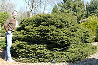 Bird's nest spruce can grow four to six feet tall and eight to twelve feet wide in time.