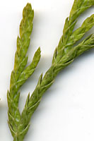 The wispy stems of threadleaf falsecypress lack the sharp, awl-shaped needles characteristic of junipers.