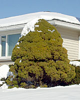 Dwarf Alberta spruce can grow ten to fifteen feet tall here in Central New York.