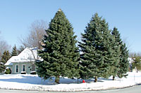 Concolor fir can grow at least fifty feet tall and twenty to thirty feet wide in Central New York landscapes.