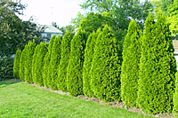 Here, `Emerald' arborvitae are planted as a hedge to define a property line.