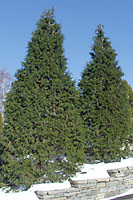 Many hinoki falsecypress cultivars are similar in appearance to ur native arborvitae.